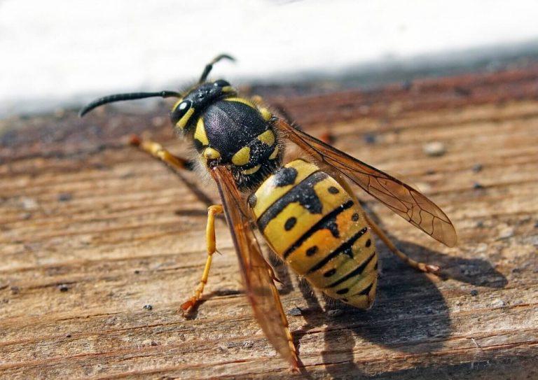 ampiaisen pisto lapsella