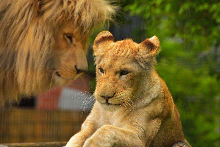 leo nimi leijona